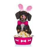 Hungry sausage dachshund dog Royalty Free Stock Photos