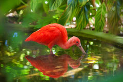 Hungry Scarlet Ibis Stock Photo