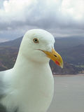 A hungry seagull. A seagull stares at the camera, with a coastline in the background Stock Photo