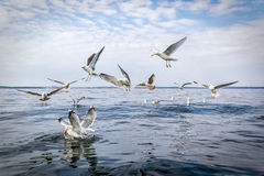 Hungry seagull birds Stock Images