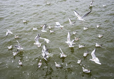 Hungry seagull birds fighting for fish rests Stock Images