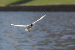 Hungry seagull in flight Stock Image