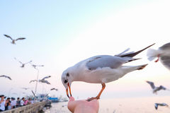 The hungry seagull Stock Photography