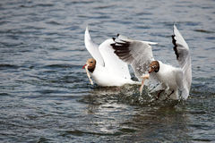 Hungry Seagulls cathing their dinner. Seagulls diving for food in the sea Royalty Free Stock Photography