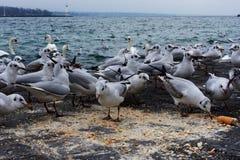 Hungry seagulls Stock Photo