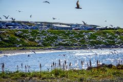Hungry seagulls fightling for the fish - Husavik royalty free stock photo