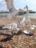 Hungry Seagulls Royalty Free Stock Images