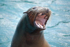 Hungry seal. A seal in the sea waitung for food Stock Photos