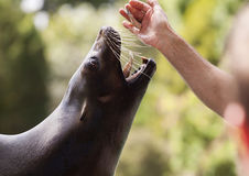 Hungry seal Stock Images