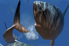 Hungry sharks in the caribbean sea. School of hungry sharks in the caribbean sea Stock Images