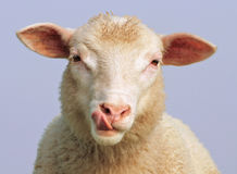 The hungry sheep stock photos