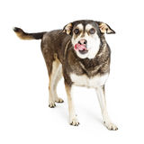 Hungry Shepherd Crossbreed Dog Tongue Out Stock Images
