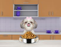 Hungry shitzu dog with food bowl sitting in kitchen and ready to eat Stock Photo