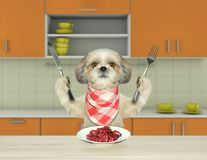 Hungry shitzu dog sitting at the table in the kitchen and going to eat meat. Hungry shitzu dog sitting at the table and going to eat meat Royalty Free Stock Photography