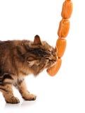 Hungry siberian cat Stock Photography