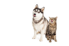 Hungry Siberian Husky and Tabby Cat Looking Up Stock Photography