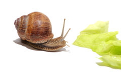 Hungry snail Royalty Free Stock Photography