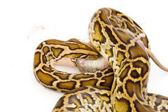 Hungry snake eating rat Royalty Free Stock Photos