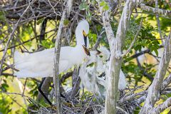 Hungry Snowy Egret Chicks Begging Mom For Food. In their nest royalty free stock image