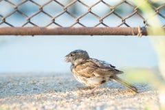 Hungry sparrow bird lives alone. royalty free stock photo