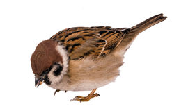 Hungry sparrow isolated on white background Royalty Free Stock Images