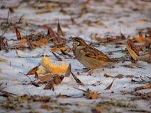 Hungry sparrow on snow, closeup Stock Photos