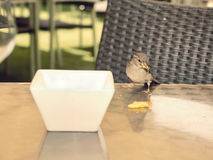 Hungry sparrow on a table eating the remains Stock Image