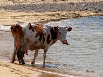 Hungry spring cow on beach  Royalty Free Stock Image