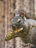 Hungry Squirrel. Eating a fresh green pine cone Stock Image