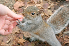 Hungry squirrel Royalty Free Stock Photos