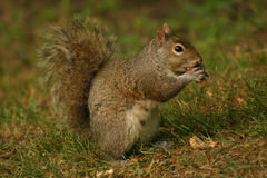Hungry Squirrel. Squirrel enjoying a nut Royalty Free Stock Photo