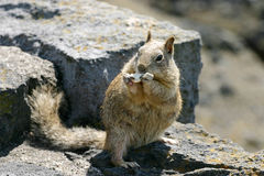 Hungry Squirrel Stock Photography