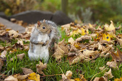 A Hungry Squirrel Royalty Free Stock Images