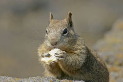 Hungry Squirrel Royalty Free Stock Image