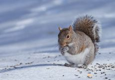 Hungry squirrel Stock Photo