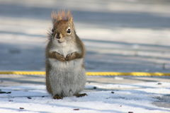 Hungry Squirrel. A squirrel looking for seeds royalty free stock photo