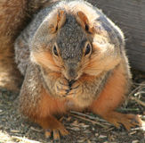 Hungry Squirrel. Eastern fox squirrel (sciurus niger)with cheeks full of food, eating oats in farmyard Royalty Free Stock Photo