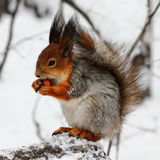 Hungry squirrel Royalty Free Stock Photo