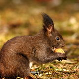 Hungry squirrel eating nut Royalty Free Stock Photography