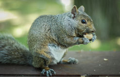 Free Hungry Squirrel Eats A Peanut In The Park. Stock Image - 64498231