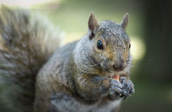 Hungry squirrel eats a peanut in the park. Stock Image
