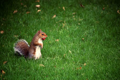 Hungry squirrel in the grass. A standing squirrel holding a nut in its mouth, surrounded by lush green grass Royalty Free Stock Photo