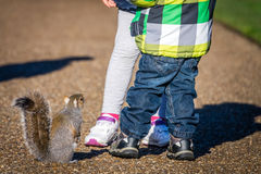 Hungry squirrel. In Regents Park in London waitintg for peanuts thrown by kids Royalty Free Stock Photography