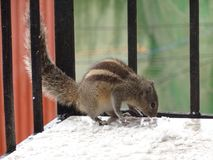 Hungry Squirrel. This is the routine in hour home that Squirrel eats now and then when stock photography