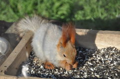 Hungry squirrel Royalty Free Stock Images