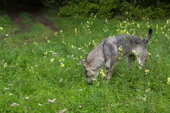 Hungry stray dog looking for food in woods. Royalty Free Stock Photo