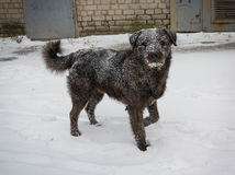 Hungry stray dog during a snowstorm Stock Images