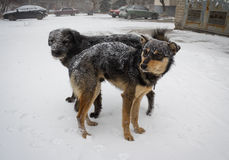 Hungry stray dog during a snowstorm Royalty Free Stock Images