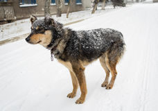 Hungry stray dog during a snowstorm Stock Photography