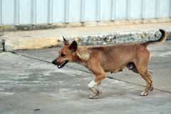 Hungry stray dogs walk alone Stock Photo